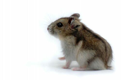 Article : Rôti de hamster : une tradition française légendaire